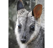 Rock Wallaby Photographic Print