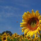 Sunny sunflower soloist (with backup chorus) by rvjames