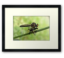Robber Fly with Lunch Framed Print