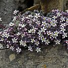 Alpine on Stone Wall by KarenM
