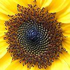Sunflower Centre in Peebles Garden by rosie320d