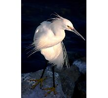 Snowy egret or heron Photographic Print
