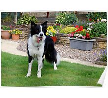 Border Collie Pose Poster