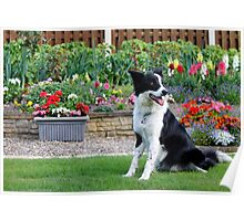 Border Collie Garden Poster