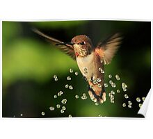 ..TINY BUBBLES....Rufous Hummingbird...by Marie Will Poster