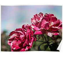 2 Variegated Roses Poster