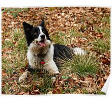 Border Collie - Lie Down Poster