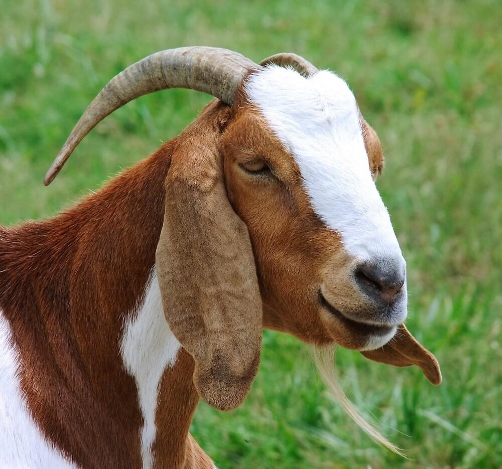 Billy Goat by RickDavis