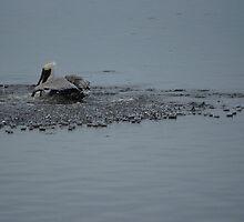 Pelican Splash Down by Scott Dovey