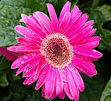 Pink Gerbera II by Scott Mitchell