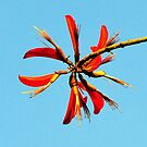 Flame tree flower by nadine henley