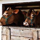 Golden Girls (Guernsey) - Fryeburg Fair 2011 by T.J. Martin