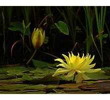 Yellow Water Lily #337 Photographic Print