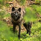 Black Wolf In Forest by WolvesOnly