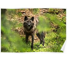 Black Wolf In Forest Poster