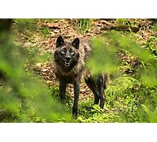 Black Wolf In Forest Photographic Print