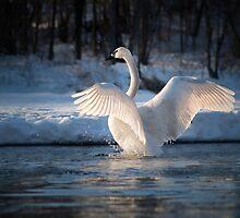 Swanshine by SandraNightski