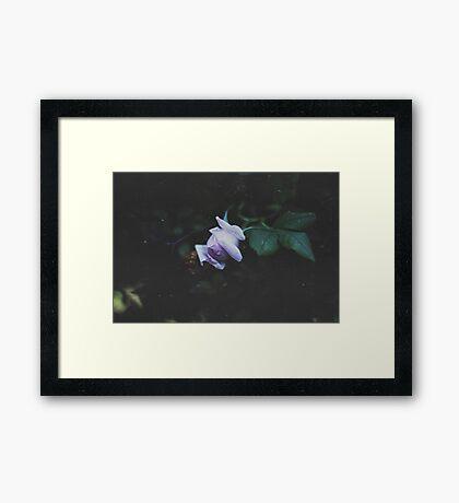 Sleeping Rose Framed Print