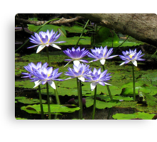 Water Lilies - Batavia Downs Canvas Print