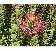 Pink Cleome, Spider Flower Photographic Print