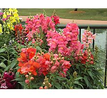 Red and Pink Snapdragons Photographic Print