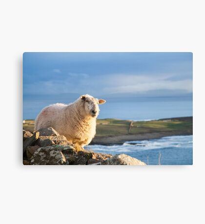 Donegal Sheep Canvas Print