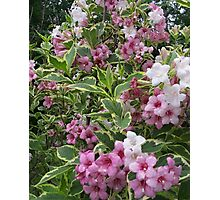 Pink Weigela Photographic Print