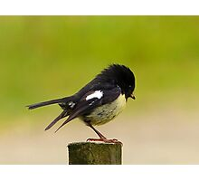 Nobility Runs In The Family - Tom Tit - Stewart Island - NZ Photographic Print