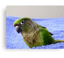 Do You Use A Good Fabric Softener? - Maroon-Bellied Conure - NZ Canvas Print