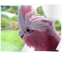 Yipeee! It's Going To Rain...Cockatoo - Rose Breasted/Galah - NZ Poster