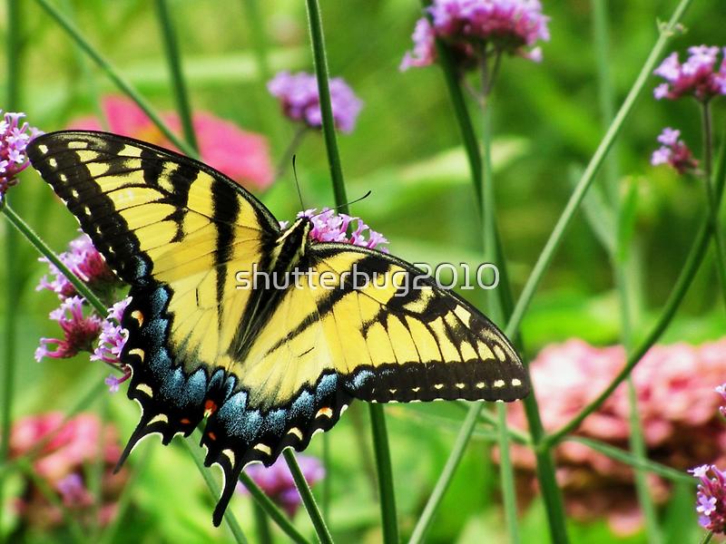 Yellow Tiger Swallowtail  by shutterbug2010