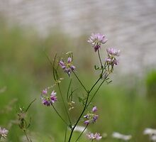 Crown Vetch by the lake by vigor