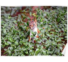 Baby Squirrel in Periwinkle Poster