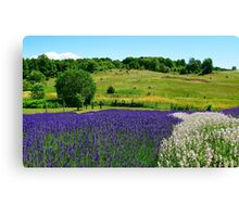 Hilly Lavender Countryside Canvas Print