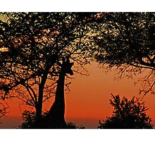 A Giraffe Sunrise Photographic Print