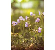 wild flowers in  light at sunset Photographic Print