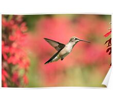 Ruby Throated Hummingbird 2016-6 Poster