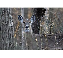 A Deer in the Thicket Photographic Print