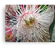 Floral Emblem of Tasmania Canvas Print