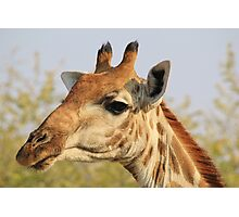 Giraffe - African Wildlife Background - Colorful Solitude Photographic Print