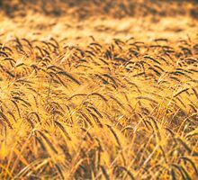 Wheat by Nigel Bangert