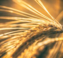 Wheat Ear by Nigel Bangert