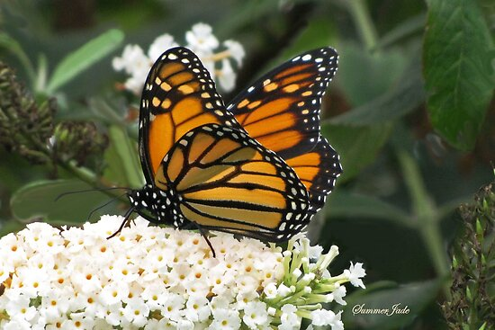 A Monarch on a Buddleia Blossom by SummerJade