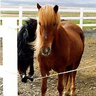 Icelandic horse (2) by Margaret  Hyde