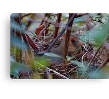 Female Cardinal on the Nest Canvas Print