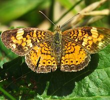 Pearl Crescent Butterfly  by lorilee