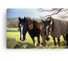 Horses in Llanfairfechan Canvas Print