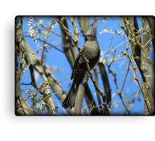 Phainopepla~ Female Canvas Print