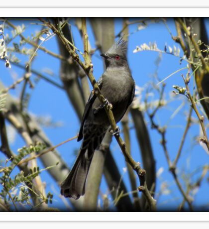 Phainopepla~ Female Sticker