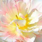 Tulip Magnificance by vette